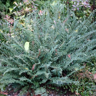 Filigranfarn Proliferum, Farn, Schattenpflanze