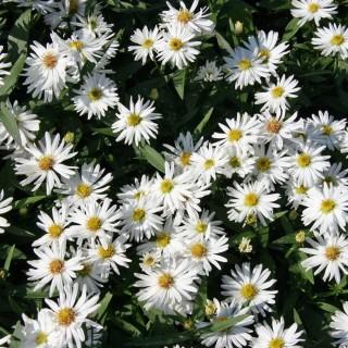 Glattblattaster Schneekuppe, Aster, Herbstblüte