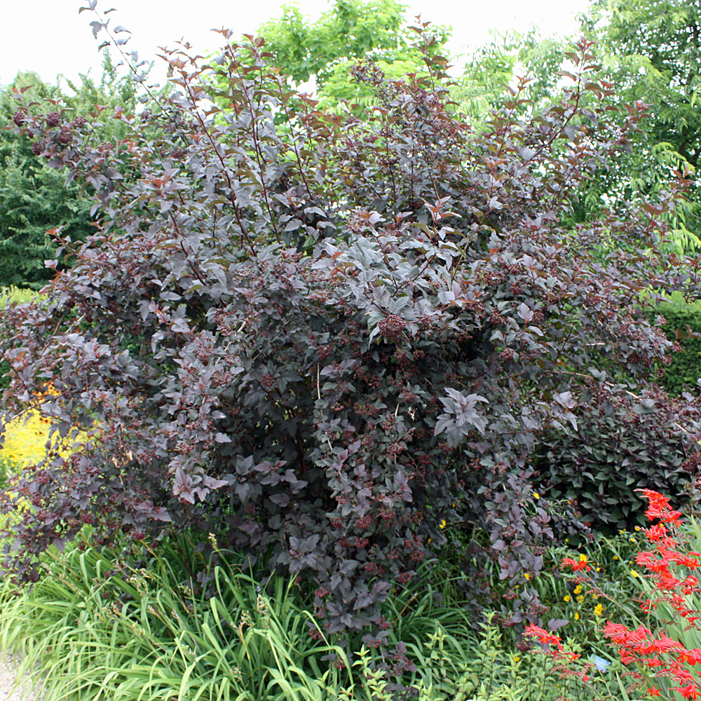 rotbl ttrige blasenspiere physocarpus opulifolius 39 diable. Black Bedroom Furniture Sets. Home Design Ideas