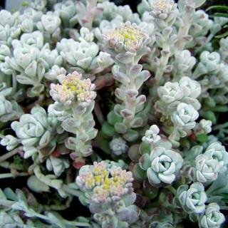 Silberspatel Fettblatt Cape Blanco, Sedum, Steingarten
