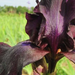Hohe Bart Iris 'Superstition'