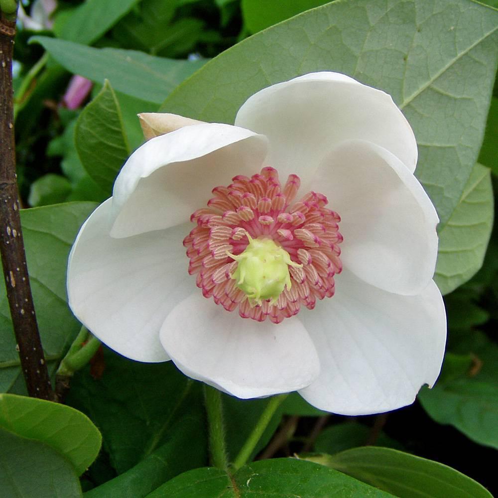 Magnolie Kleinwüchsig sommermagnolie magnolia sieboldii diese besondere magnolie blüht