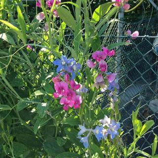 Staudenwicke Rosa Perle, Wicke, Kletterpflanze