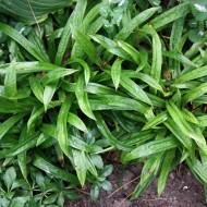 Breitblattsegge, Carex plantaginea, Schattengras