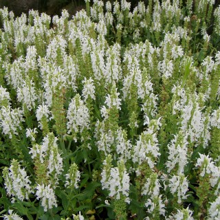 Salbei Adrian, Salvia, Blütenstaude, Zierpflanze