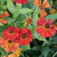 Sonnenbraut Indianersommer, Schnittblume