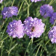Skabiose Butterfly Blue, Scabiosa, Bienenweide