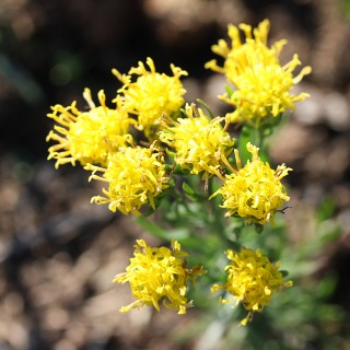 Goldhaaraster, Aster, Blütenstaude