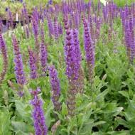 Salbei, Blütenstaude, Zierpflanze