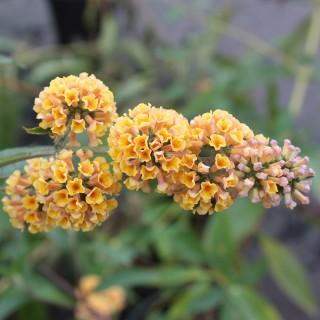 Sommerflieder, Buddleja, Bienenweide, Schmetterlingstrauch