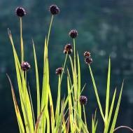 Zwerg Binse, Juncus, Teichpflanze, Uferbepflanzung