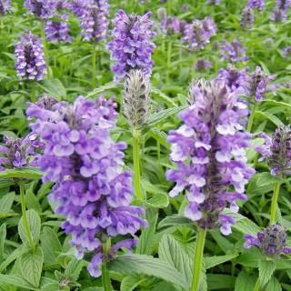Katzenminze, Nepeta, Bienenweide, Duftpflanze
