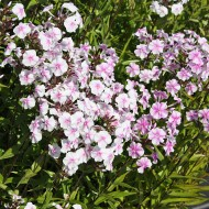 Wiesenphlox Delta, Phlox, Blütenstaude