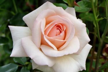 Rosen - Die Königin der Blumen