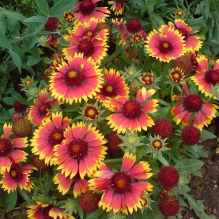 Kokardenblume Arizona Sun, Blütenpflanze