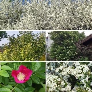 Vorschau: 5 Sträucher für den Naturgarten