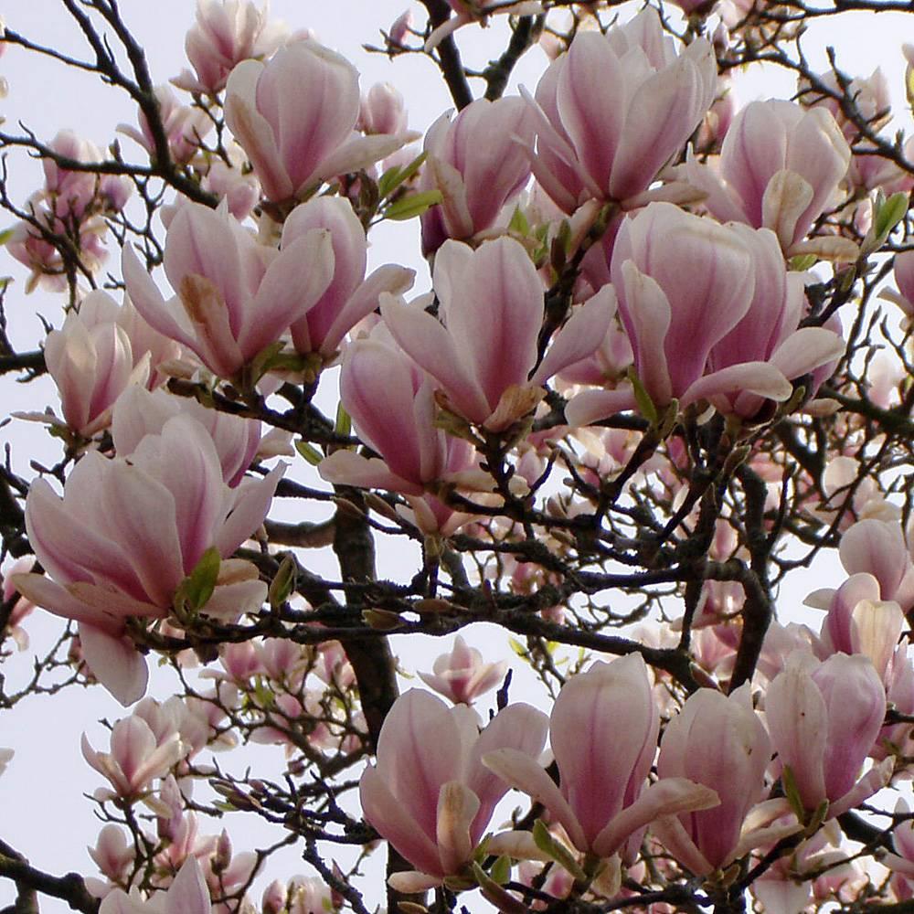Magnolie Kleinwüchsig tulpenmagnolie magnolia soulangiana die tulpenmagnolie ist ein