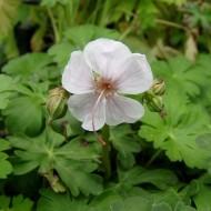 Storchschnabel Bikovo, Bodendecker, Blütenpflanze