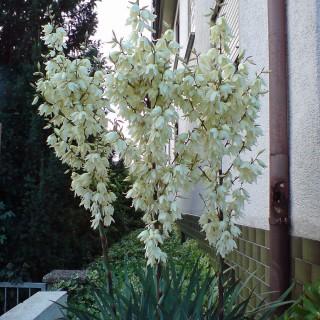 Palmlilie, Yucca, Immergrüne Prachtstaude