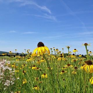 Echinacea, Sonnenhut, Prachstaude