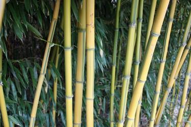 Bambus Fargesia für Garten und Kübel