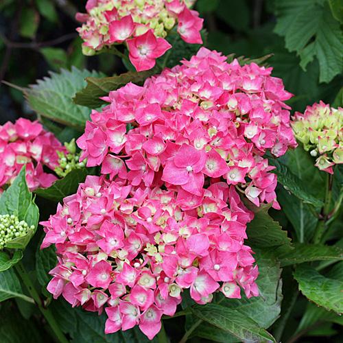 Bauernhortensie mit roten Blüten