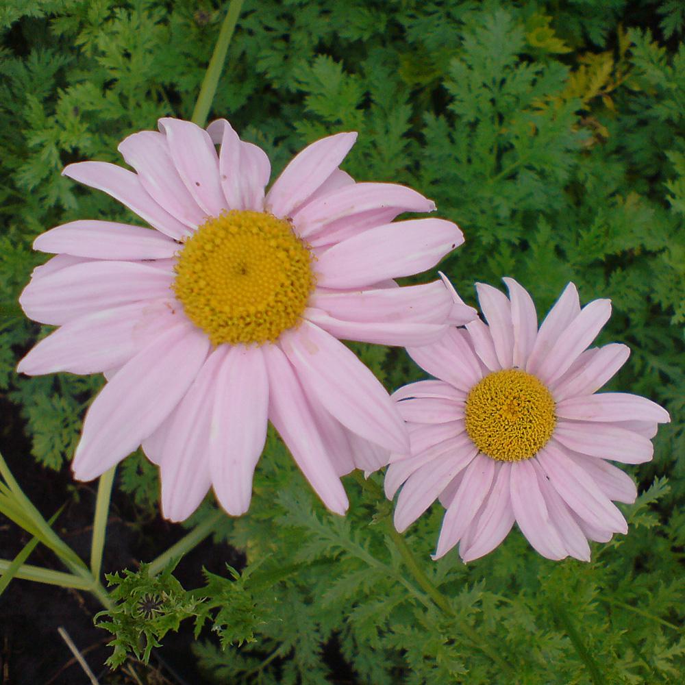 Beliebt Bevorzugt Bunte Margerite 'Robinsons Rosa' - Tanacetum coccineum 'Robinsons @LP_76