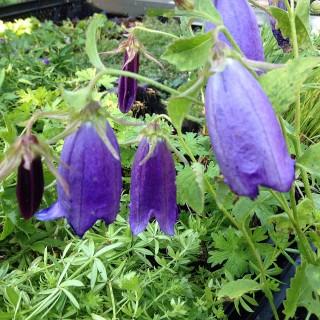 Glockenblume Sarastra, Blütenstaude