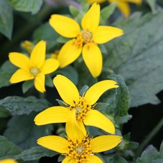 Goldkörbchen, Bodendecker, Blütenpflanze