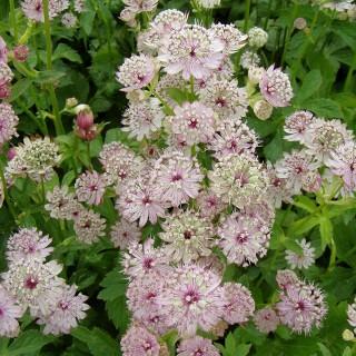 Sterndolde Rosea, Astrantia, Schattenpflanze