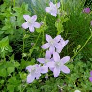 Teppichglockenblume, Glockenblume, Bodendecker