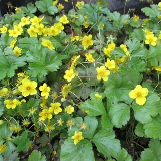 Ausläuferbildende Waldsteinie, Unterbepflanzung, Schattenpflanze