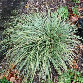 Buntlaubige Segge Snowline, Carex Snowline