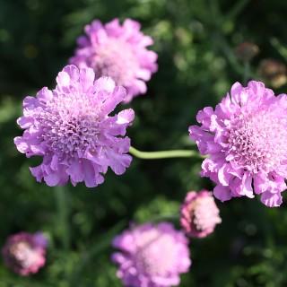 Skabiose Pink Mist, Scabiosa, Bienenweide, Blütenstaude