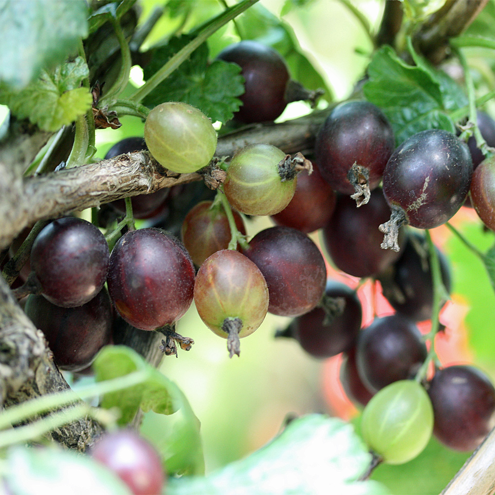 Atemberaubend Stämmchen Jostabeere - Ribes × nidigrolaria - Schwarze, süße #EG_96
