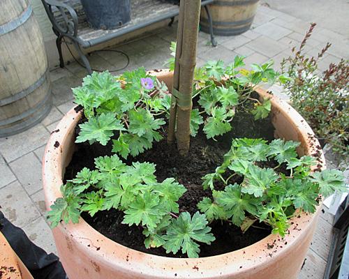 Stämmchen unterpflanzen im Kübel