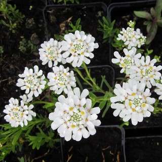 Schleifenblume Schneeflocke, Iberis, Teppich, Bodendecker