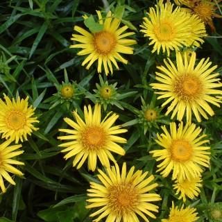 Zwerg Alant, Blütenpflanze, Blütenkörbchen