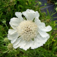 Skabiose Perfecta Alba, Scabiosa, Blütenpflanze