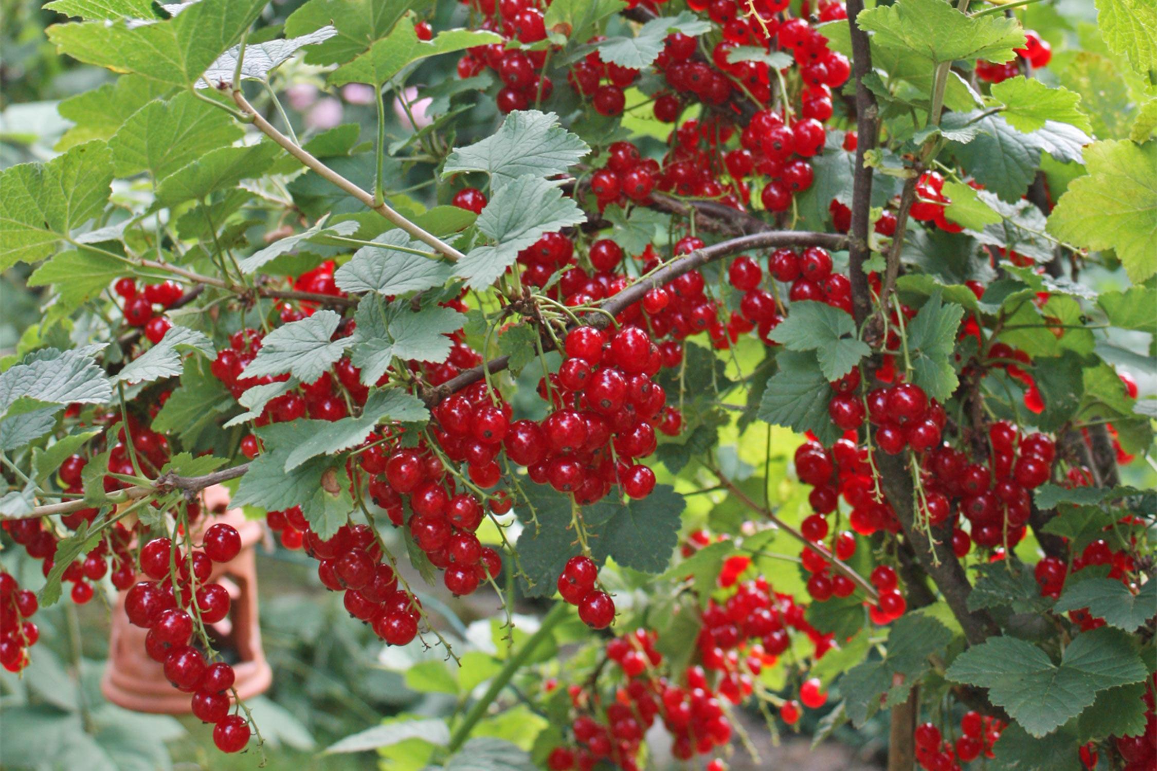 Super Pflanz- und Pflegetipps für Johannisbeeren | Native Plants &HK_32