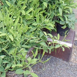 Staudenwicke, Wicke, Kletterpflanze, Bienenweide