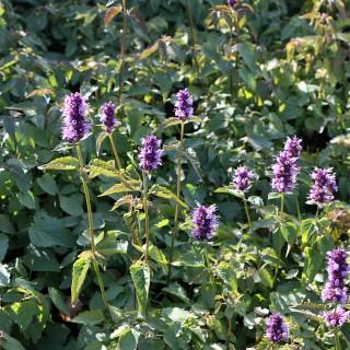 Duftnessel Black Adder, Duftpflanze, Bienenpflanze,