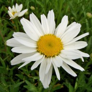 Margarite Gruppenstolz, Blütenstaude