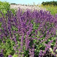Salbei Purpule Rain, Salvia, Zierstaude