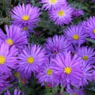 Kissenaster, Aster Augenweide, Herbstblüher, Herbstpflanze