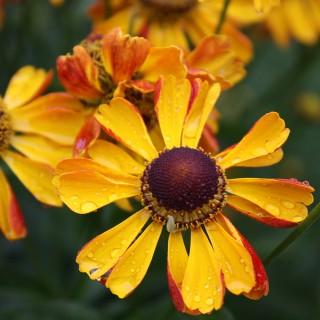 Sonnenbraut Rauchtopas, Blumenbeet