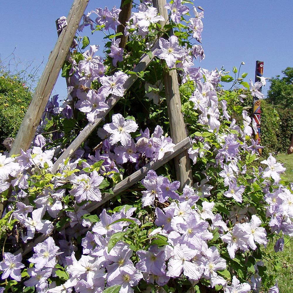 Clematis-viticella-Prince-a577381c8b33db