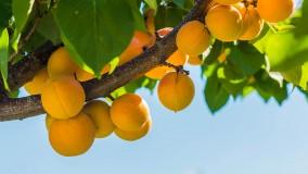 Aprikosenbaum pflanzen und pflegen