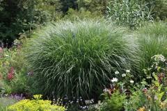 Feinhalmchinaschilf im Garten oder Kübel