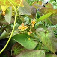 Elfenblume Orangenkönigin, Epimedium, Bodendecker